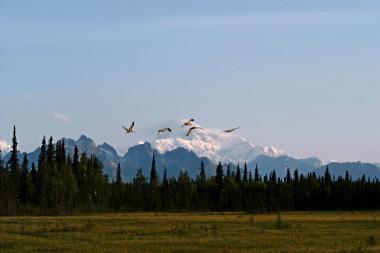 Denali Cranes
