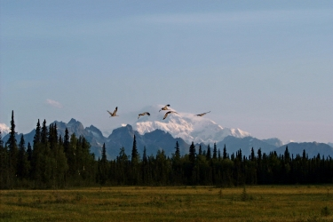 Sandhill cranes fly across the south face of Denali.    Photo taken from the second meadow.