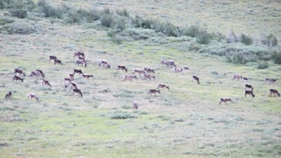 Caribou moving toward a crossing of the Kongakut River, Arctic National Wildlife Refuge.