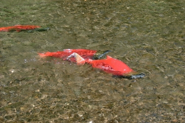 Sockeye salmon spawning in a tributary of the Nushagak River, which drains into Bristol Bay downstream from proposed large-scale mining activity at the Pebble deposit.