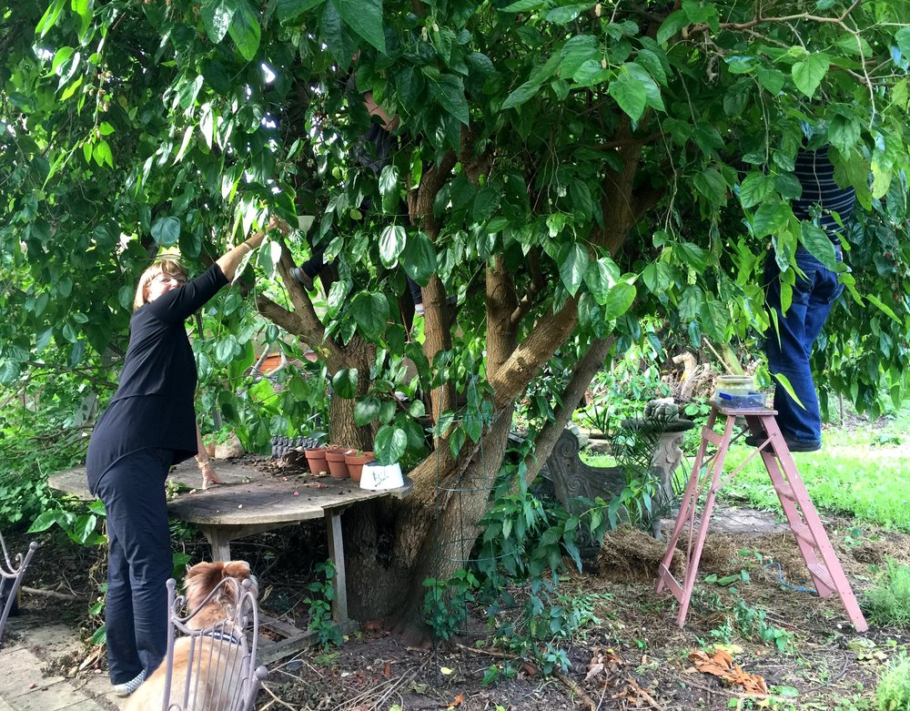 At harvest time, friends are roped in to pick Dave's fruit trees