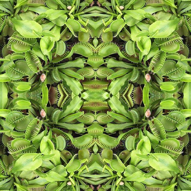 In love 🐉 #venusflytrap #botany #iga #berlin #gardens #gärtenderwelt #inspiration #ilovenature