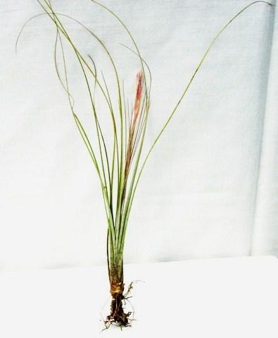 Tillandsia bartramii (Florida)