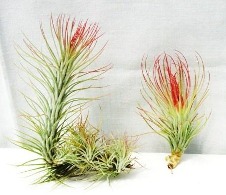 Tillandsia funkiana (L), Tillandsia andreana (R)