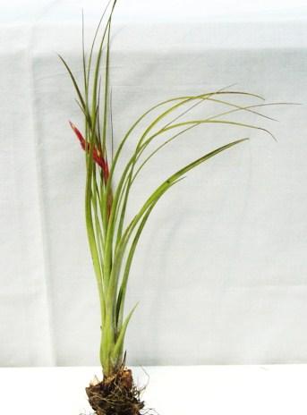 Tillandsia simulata (Florida)