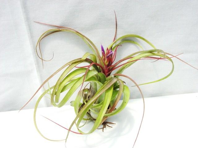 Tillandsia streptophylla hybrid