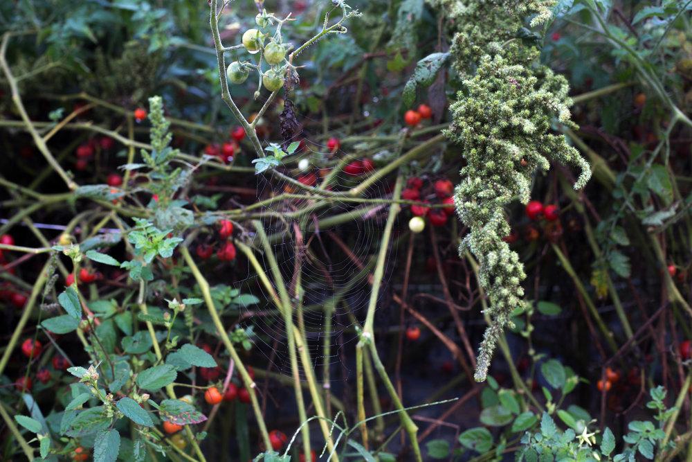 spiderweb_tomatoes_0917_web.jpg