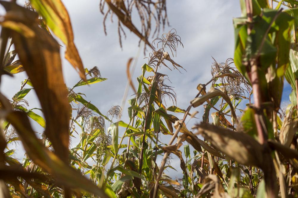 Corn_Sept_web.jpg