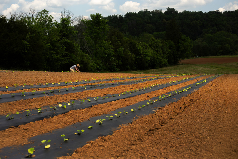 Anna Laura Reeve plants a field of several winter squash varieties; San Jose x Waltham, Thai Kang Kob, Ayote, Chinese Tropical, Virginia Select butternut, Tahitian, Greek Sweet Red. One of their goals at Care of the Earth is to find varieties that will be able to survive hot, dry climates as our planet's temperatures rise due to global warming.