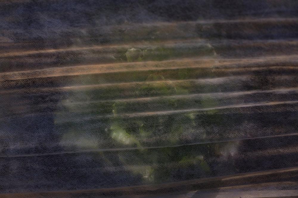 Lettuce_Nov_COTE_2_web.jpg