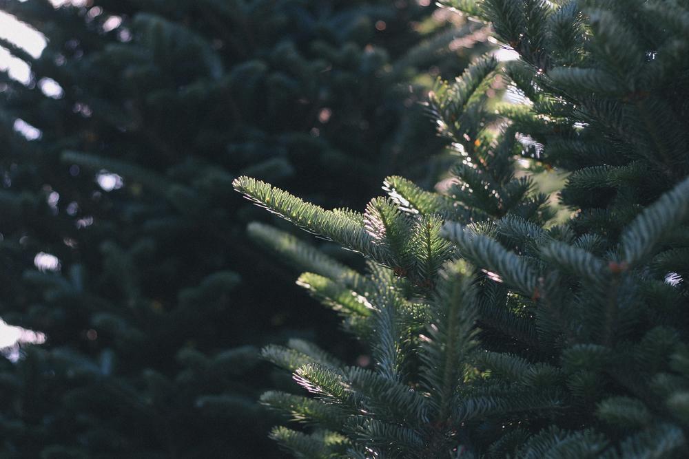 sprucepine_NE2014-8.jpg
