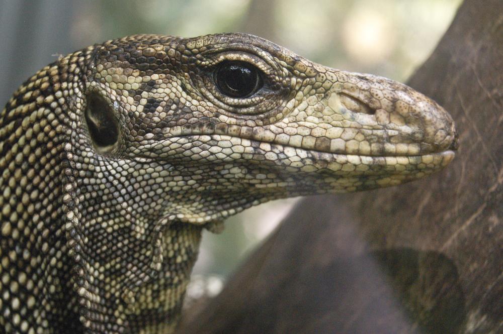 Big Friggin' Lizard, Peru