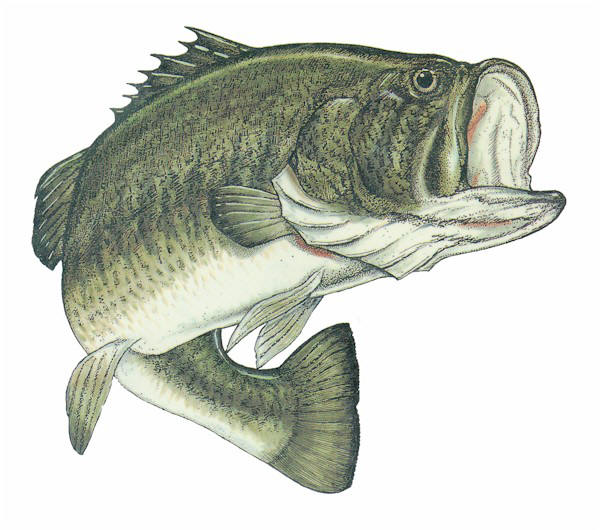 Illustration of a small mouth bass, commonly found in Contoocook and Merrimack Rivers.