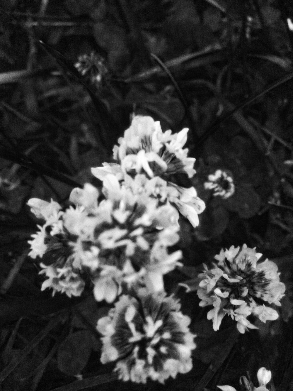 clover.