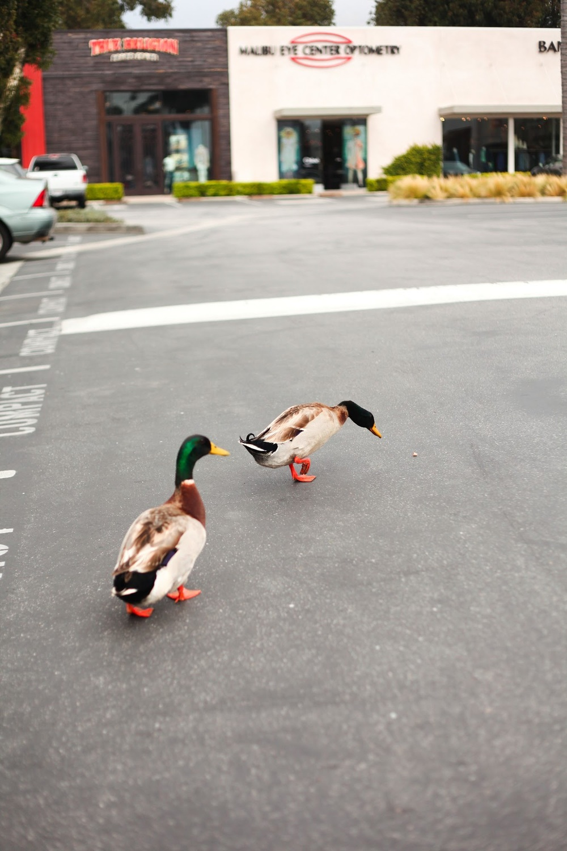 mallard+ducks+in+malibu.jpg