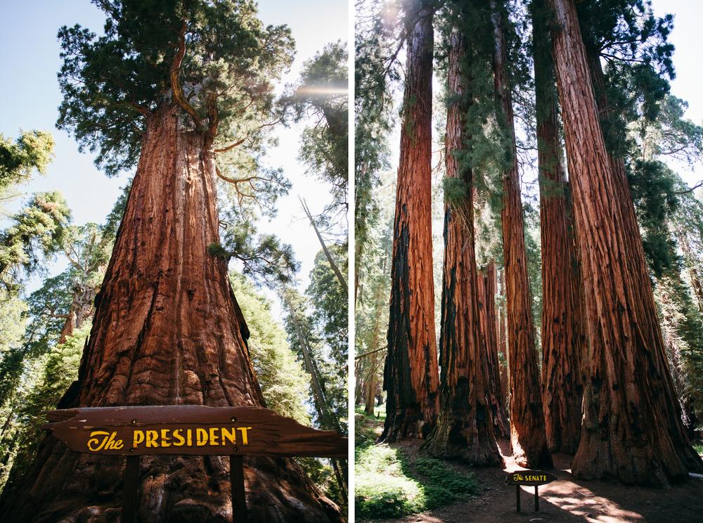 president senate sequoia trees.jpg