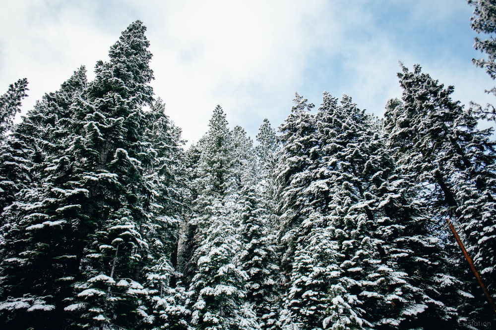 truckee snow trees