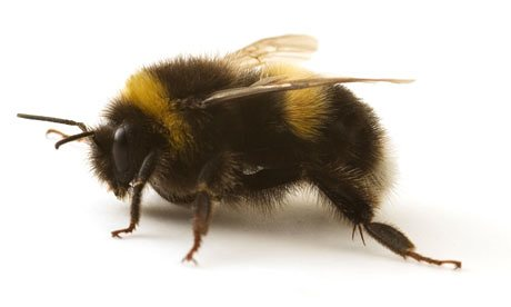 Bumblebee - Also visits flowers for nectar and pollen. Lives in the ground in smaller colonies than honeybees.