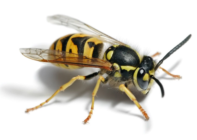 Yellowjacket Wasp - Carnivorous wasp that visits your picnics. Nests in cavities and in the ground