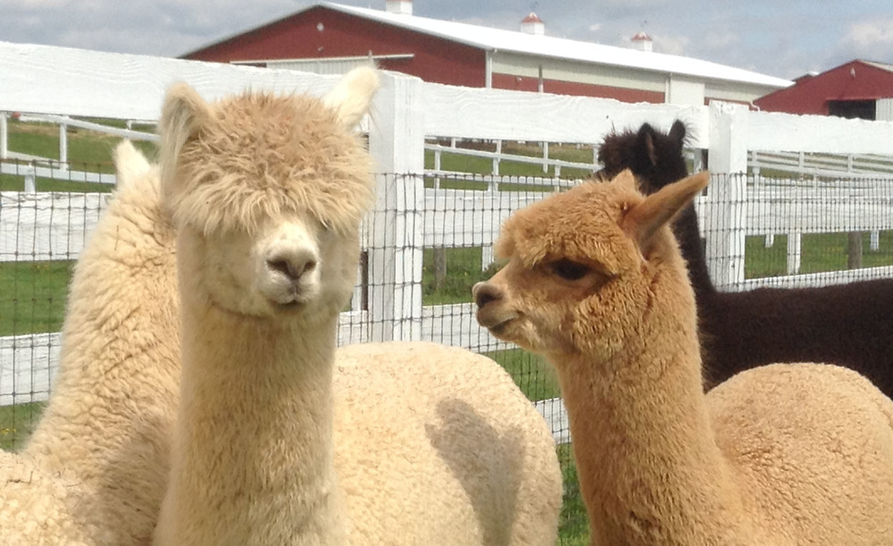 Knotwe Lab's Visit to Bellasera Alpaca Farm in Union Bridge Maryland