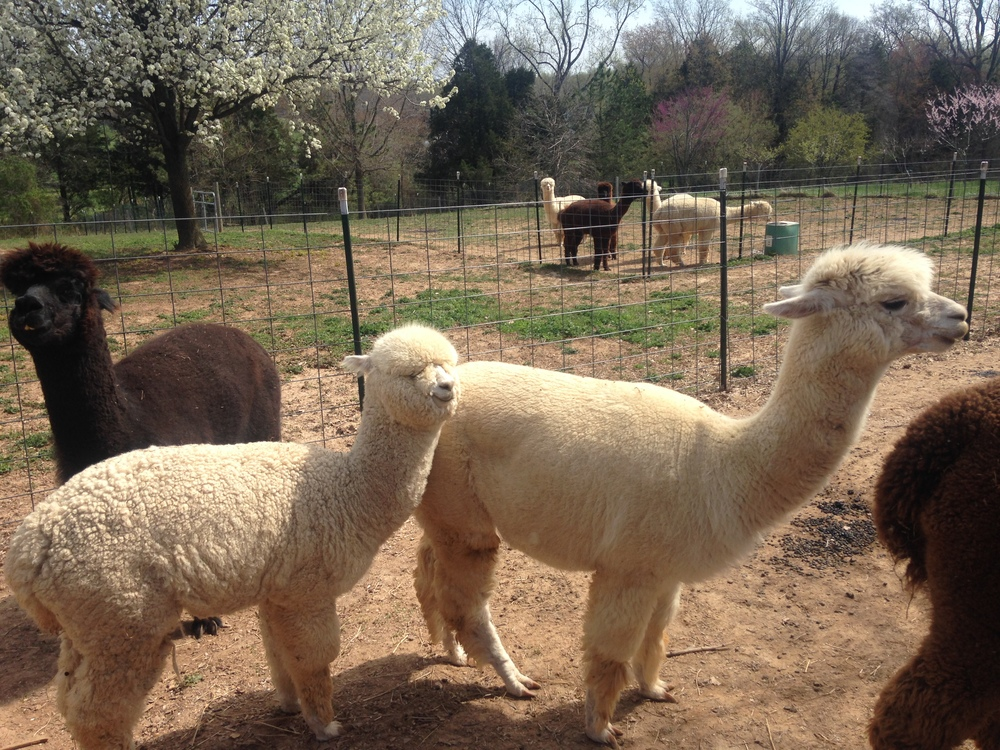 Breezy Hill Alpaca Farm in Woodbine, Maryland