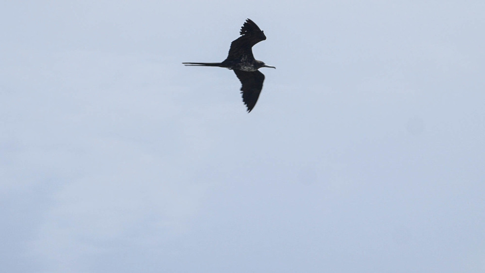 Frigate Bird, Codrington Lagoon