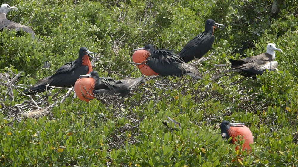 Frigate Birds, Codrington Lagoon