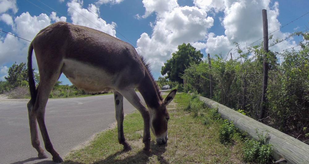 Donkey, Codrington