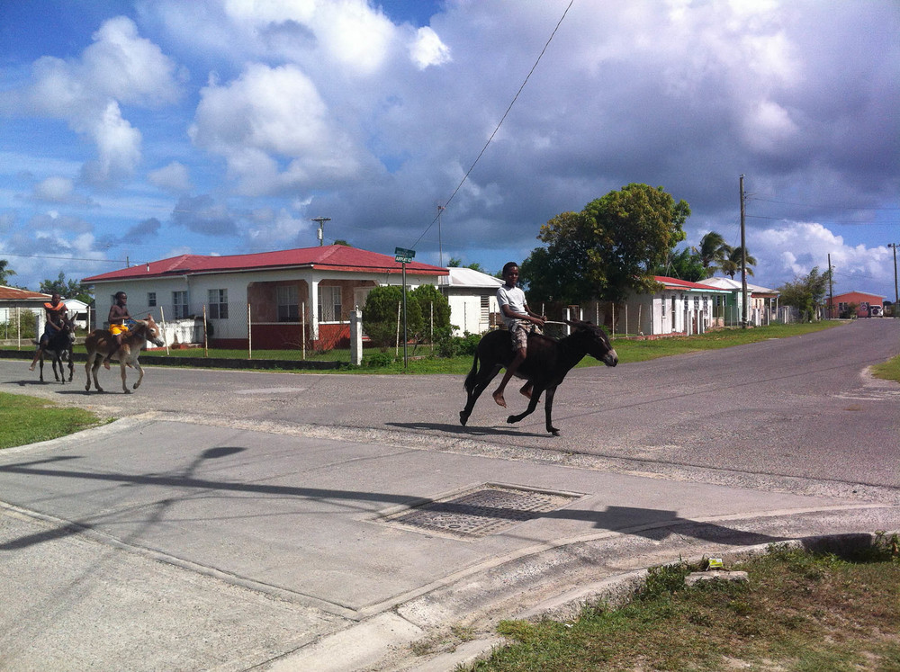 Racing Donkeys, Codrington
