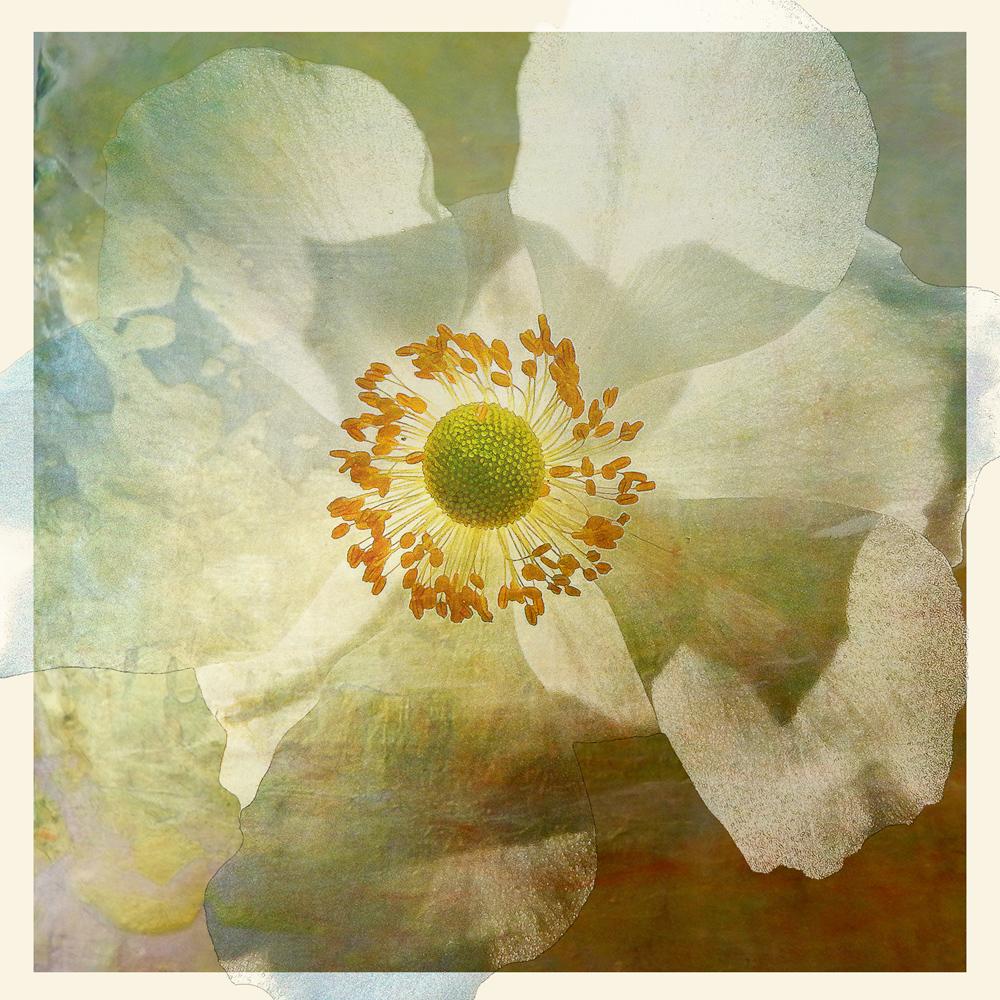 White-poppy.jpg