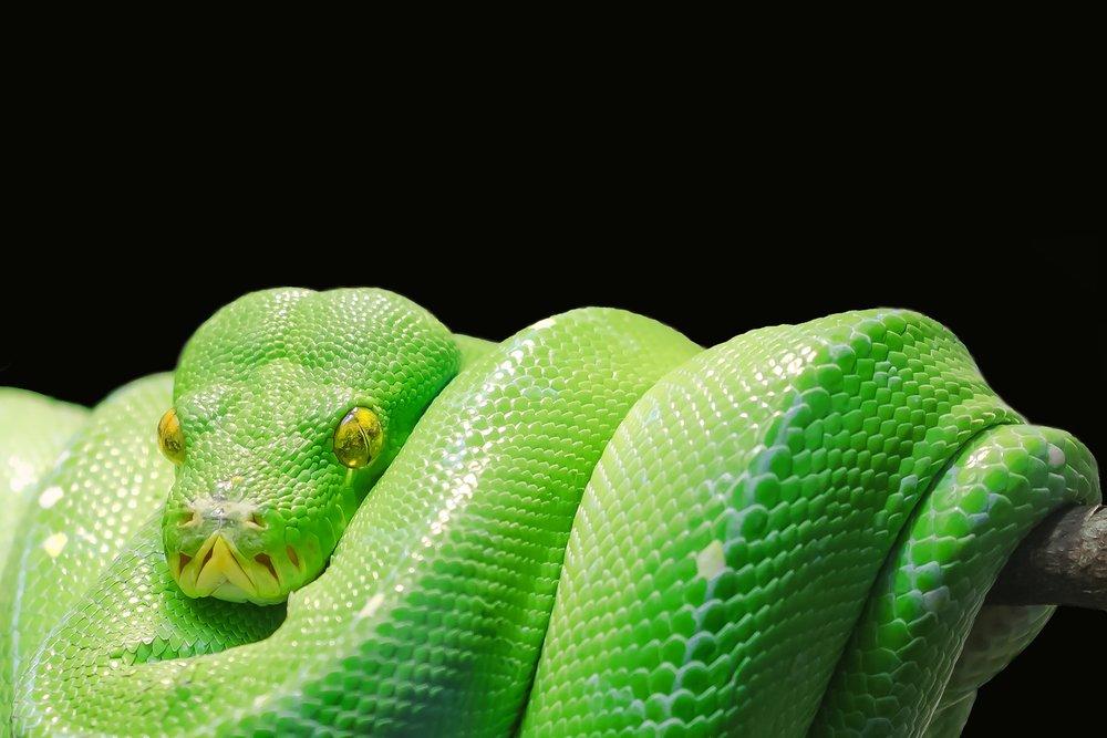 Green Tree Python. Just like the language.