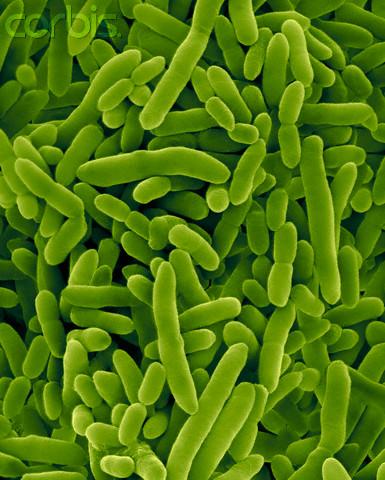 Pseudomonas Putida Bacteria