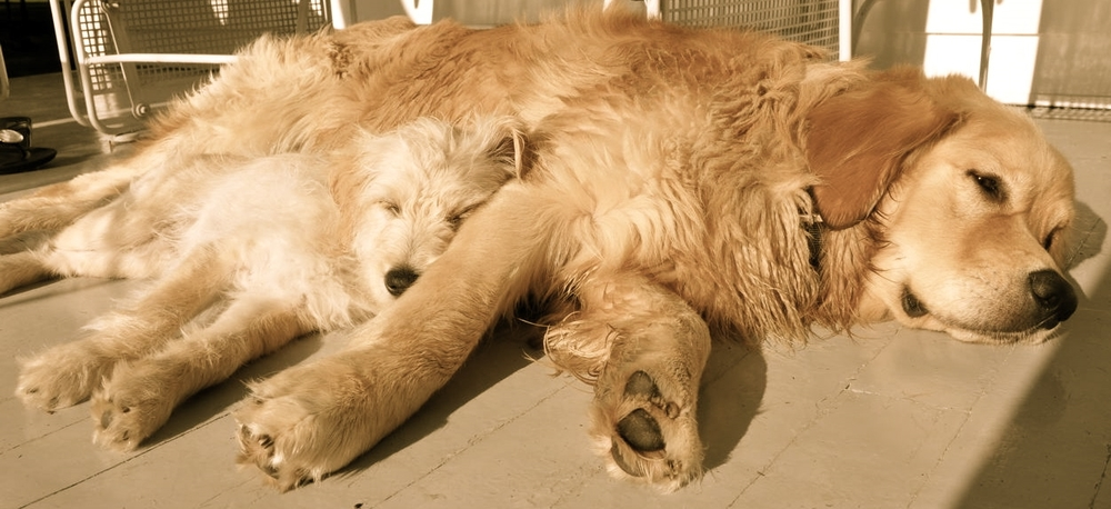 The Breuer dogs, George and Jack, sunbathing on the front porch of the farmhouse