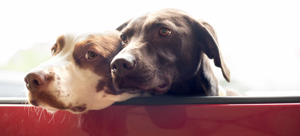 dogs in red truck.png