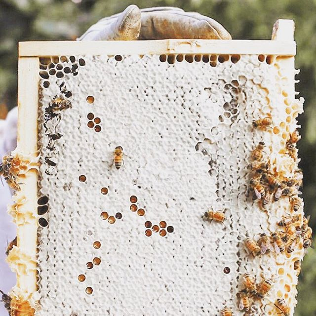 As the fall approaches + the winter months near, bees are constantly preparing + foraging! 🍂🐝 Bees are truly amazing + don't slow down in the colder months 💪 They are active all winter long—unlike some insects that lay eggs in the fall, die in the winter only to be succeeded by their young. Bees also don't hibernate. The honey bee is cold blooded, so to keep the colony alive during the winter months, the hive must maintain a warm temperature. ⁣⁣ ⁣⁣ They accomplish this warmth through clustering! Clustering involves the bees attaching themselves to each other with the queen in the center of the cluster. The movement of their bodies—through shivering and wing flapping, creates warmth and keeps the queen at steady 90 degrees in the center of the cluster. ⁣⁣ ⁣⁣ Outer bees trade places with inner bees to maintain a rotation of temperature and to allow honey consumption.⁣⁣ ⁣⁣ ⁣⁣ All of this movement takes a great deal of energy on the part of the bees. They replenish their energy stores by consuming stored honey. This is why honey is such a precious commodity + if you keep bees, why you should not take too much honey from the hive during the summer season—as the bees need this honey to survive the winter!⁣⁣ ⁣⁣ ⁣⁣ Learn more about our pollinator friends + how you can do you part to #beethechange with the link in our bio 👆🐝💪💛 ⁣⁣ ⁣⁣ 📷 @thehoneythieves