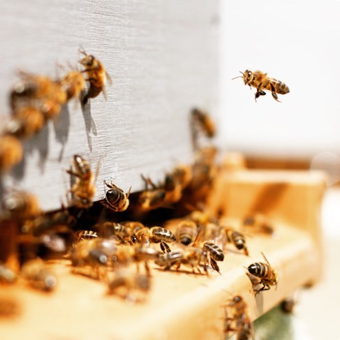 Did you know the U.S. Department of Agriculture estimates that honeybees pollinate over 80 percent of the country's crops—meaning bees pollinate over $20 billion worth of crops each year! On top of that, Americans consume nearly 285 million pounds of honey each year. Because of this, it is absolutely critical to abstain from outdoor pesticide use—to keep our pollinators + ecosystem safe! ⁣⁣ Check out the link in our profile for ways you can join us in being part of the change! Join us in the movement #beethechange 💪🐝🌿💛