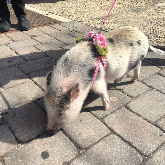 Look what I just found in Hoboken Nj. A lady walking a pet pig. She said it's great to cuddle with and it's as smart as a 4th grade kid #jeanshop #jeans #pig #wearthepig #hoboken #petpig #4thgrade