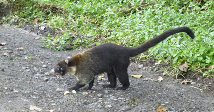 I grew up calling these coatimundi, thanks to John J. Audubon. Photo by Frankie.