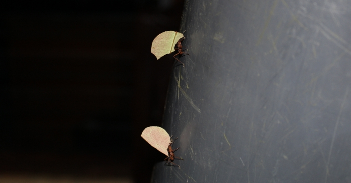 On the march: Leafcutter ants doing what they do.
