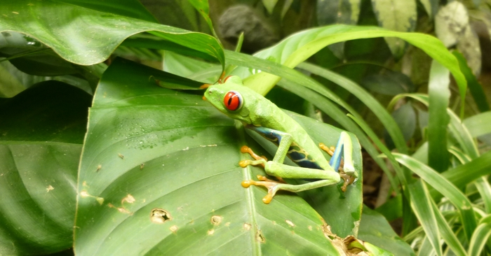 Red-eyed tree frog. Photo by Frankie.
