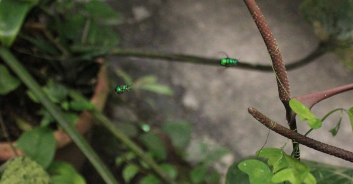 Iridescent green orchid bees.