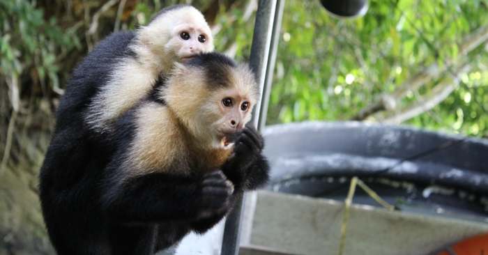 Mama and baby capuchin monkey.