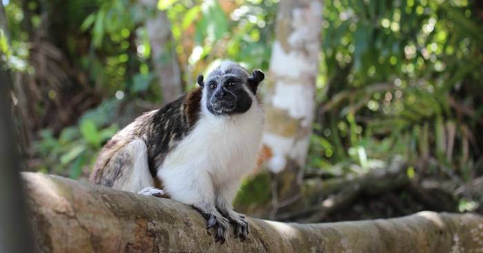 Rufous-naped tamarin. So cute.