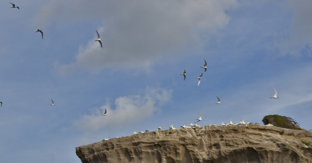 Terns over Gannets