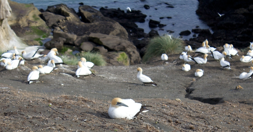 Close-up of a few Gannets