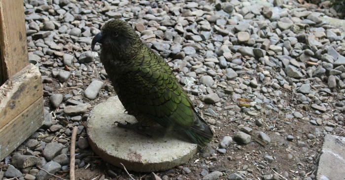 You may recall that our camper van is a Kea. It's named after this bird.