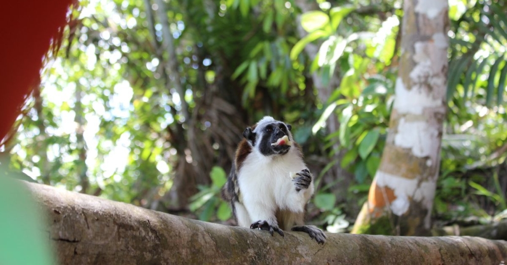 Rufous-naped tamarin eats a banana.