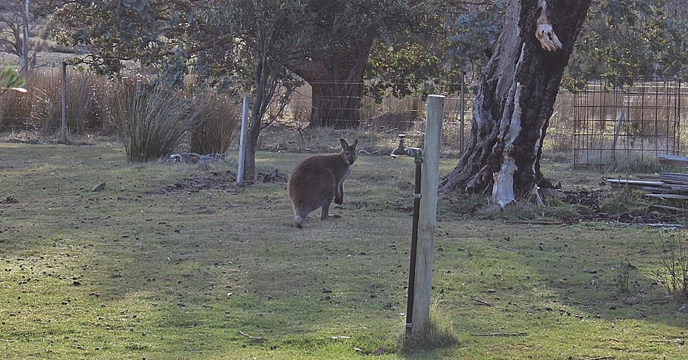 Good morning, wallaby.