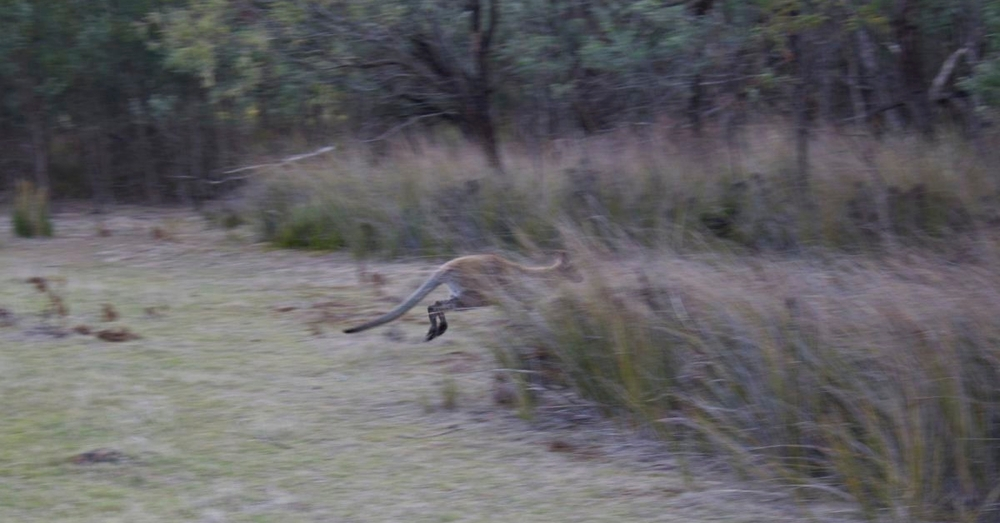 Wallaby on the move.