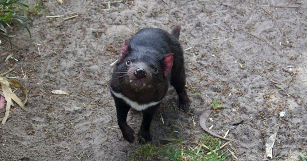 Hi. I'm a Tasmanian devil.
